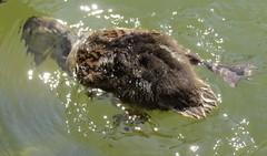 IMG_0215 (rachelaughs) Tags: water canal duck duckling mallard waterfowl eriecanal mallardduck babyduck pittsfordny babymallard mallardduckling babymallardduck