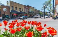 Tulips on Orillia's Mississaga Street (fotofrysk) Tags: street ontario canada cars tulips restaurants business orillia mississagastreet nikond7100 heritagestorefronts 0522164895