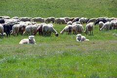 I due pastori (giorgiorodano46) Tags: dogs sheep flock may appennino cani pecore castelluccio 2016 apennines gregge castellucciodinorcia parconazionaledeimontisibillini montisibillininationalpark maggio2016 giorgiorodano