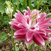 Pink Columbine Aquilegia vulgaris