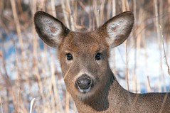 2016 White-tailed Deer 2 (DrLensCap) Tags: park winter chicago robert nature animal mammal illinois village north center il deer whitetailed