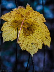 "the last leaf • <a style=""font-size:0.8em;"" href=""http://www.flickr.com/photos/44919156@N00/27274682443/"" target=""_blank"">View on Flickr</a>"