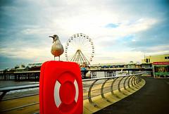 Noisey (Davey Psychotronic) Tags: blackpool england coast prom bird seagull wildlife big wheel pier lomo lomography lca crossprocessed xpro shout