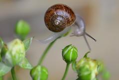 Take it slow (suekelly52) Tags: rose snail bud gastropoda