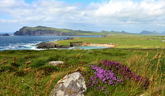 Clogher (Barbara Walsh Photography) Tags: flowers ireland summer colour nature kerry clogher wildatlanticway dinglepeninbsula