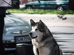 malamute (rosa_and_the_stars) Tags: dog malamute