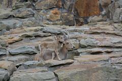 Zoo Berlin 037 (Explored 17.06.2016) (Frank Guschmann) Tags: zooberlin zoo animals frankguschmann nikond7100 d7100 nikon explore explored explored17062016 explored06172016 bergziege