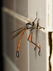 Robber Fly (possibly Leptogastrinae, Asilidae) (John Horstman (itchydogimages, SINOBUG)) Tags: china macro topf25 insect fly yunnan trap robber diptera fbe asilidae itchydogimages sinobug