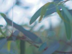 Eucalyptus 50mm (EllenJo) Tags: tree leaves pentax eucalyptus 2016 june15 50mmlens ellenjo ellenjoroberts digitalcameraandanaloglens pentaxqs1 vintagepentaxklens pentaxqwithpentaxklens vintage50mmpentaxlens