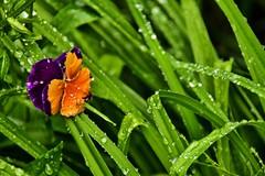 la fleur et la pluie ... (miriam ulivi) Tags: flower verde green nature grass rain drops erba fiore pioggia giverny gocce nikond7200 miriamulivi fondazionemonet