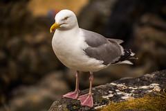 St Ives Gull (trevorhicks) Tags: gull st ives tamron canon 6d