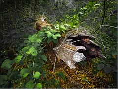 Reclaiming the log_2031 (miss_betty2012 (not available much)) Tags: tree oklahoma nature forest log flora unitedstates vine sulphur reclaim chickasawnationalrecreationarea plattnationalpark