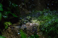 London Zoo (fat.photography2015) Tags: wild color green nature animal moss colorful vietnamese amphibian frog mossy amphibious