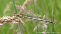 white-legged damselfly (Male) RM P1010144 (Pitzy's Pyx, keep snapping away!.) Tags: whiteleggeddamselfly greensandridge mauldenwood greensandtrust greensandtrustvolunteers mauldenheath lumixfz1000