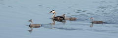 Great Crested Grebe Family (abritinquint Natural Photography) Tags: water swim bird vogel natural wildlife nature wild nikon d7200 telephoto 300mm pf f4 300mmf4 300f4 nikkor teleconverter tc17eii pfedvr germany