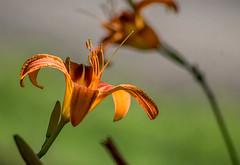 Lily in the Sun #1 (bettyinparis) Tags: bokeh dof sunlight nikon d3200 sigma closeup nature sun shadows beauty orange lily lilies