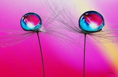 Intertwined flimsiness (before) (Anne Rusten) Tags: pink macro art water droplets drops nikon dof artistic pastel indoor drop refraction droplet waterdroplet focusstack dandelionseed focusstacking nikond7000 dandelionart