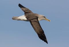 Buller's Albatross (christinaportphotography) Tags: wild bird birds flying focus dof flight sydney free australia nsw albatross pelagic mollymawk bullersalbatross thalassarchebulleri bullersmollymawk