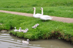 Proud parenthood (Kirkleyjohn) Tags: swans swan cygnet