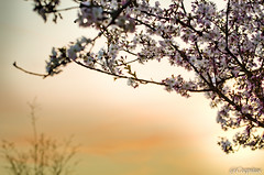 Kirschblte im Sonnenuntergang (Crepitus) Tags: flowers light sunset shadow sky orange flower macro tree nature yellow garden cherry photography licht nikon sonnenuntergang blossom natur himmel blumen gelb bloom sakura bud blau blume makro blte weiss schatten garten baum knospe kirsche kirschblte knospen kirschbaum blhen weis stiel kelch d7000