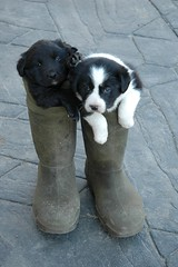 Pups in boots (Debbie Prediger Photography) Tags: ranch blue red summer sky food dog baby brown white black cute green nature field grass animal animals horizontal clouds rural standing hair puppy landscape mammal outdoors photography cow milk healthy close cattle eating farm background beef country young meadow nobody scene bull meat domestic pasture cuddle debbie agriculture calf livestock herd bovine grazing prediger nonurban