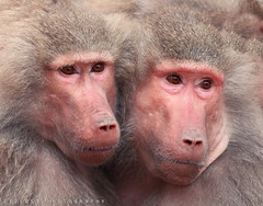 Lovers.. (ZiZLoSs) Tags: love canon eos monkey zoom lovers national monkeys usm geographic nationalgeographic 400mm abdulaziz 600d f56l ef400mmf56lusm zizloss ef400mm almanie