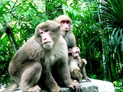A family of Stump-tailed -macaques (Veena-Nair) Tags: india canon driving captured happiness monkeys while sikkim canonpowershot kalimpong threemonkeys flickraward stumptailedmacaques connectwithnature publishedonyahooindialifestyle