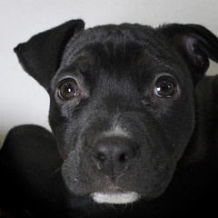 Jo The Boxer/Black Labrador (Immature Animals) Tags: arizona rescue baby black cute animal mutt mix lab labrador tucson adorable az pima foster bark boxer paws alter adopt alteration pound petco shorthaired neuter petfinder spay koalition pacc