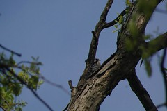 little drummer boy (philliefan99) Tags: nature birds washingtondc downywoodpecker picoidespubescens districtofcolumbia nationalmall dcist drumming constitutiongardens westpotomacpark pentaxk7hdvideo