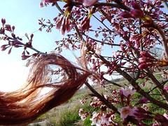 Spring in my hair (LaWendeltreppe) Tags: garden blossom plum