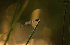 Blue and gold. (Sandeep Somasekharan) Tags: life morning macro insect gold nikon champagne sandy joy halo blessing tiny nikkor damselfly shining 300mmf4 d300s sandeepsomasekharan sandyclix