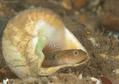 Goby guarding eggs (chrisrobs) Tags: uk macro wildlife southcoast marinelife underwaterphotography swanagepier dioptre twospotgoby gobiusculusflavescens copyrightcroberts twospotgobyeggs