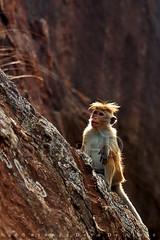 Toque Macaque (Sara-D) Tags: nature animals rock forest asia wildlife sl sri lanka species srilanka ceylon endangered lk fortress wildanimals southasia sigiriya endangeredspecies sarad rockfortress saranga kingkashyapa sarangadevadealwis sarangadeva