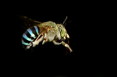 Blue Banded Bee In Flight (karthik Nature photography) Tags: life india macro nature animals closeup fly inflight wildlife bees air insects discovery nationalgeographic bluebandedbee macrophorography karthikphotography bluebandedbeeflight
