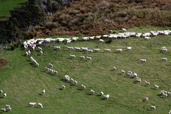 sheep on the move (Abizeleth) Tags: ranch newzealand green lines moving sheep farm pasture southisland teanau grazing