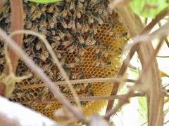 Growing bee hive (Mink) Tags: house home window nature bees kuwait creeper beehive kuwaiti rangoon