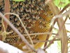 Growing bee hive (Mink) Tags: house home window nature bees kuwait creeper beehive kuwaiti rangoon