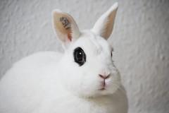 Hotot Panny (blumenbiene) Tags: pets rabbit bunny wohnung haustier hase kaninchen karnickel zwergkaninchen hotot häsin