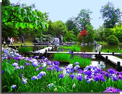 Japanese garden in Hasselt - It's iris time... (jackfre2 (on a trip-voyage-reis-reise)) Tags: flowers trees water gardens waterfall pond belgium hasselt bridges bushes japanesegardens irises limburg smallbridges mygearandme ringexcellence flickrstruereflection1