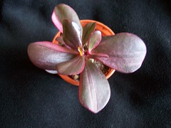 Crassula ovata varigated hybrid (srboisvert) Tags: hybrid crassula varigated ovata
