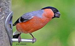 male bullfinch (gray clements) Tags: birds canon garden feeder 7d bullfinch pyrrhulapyrrhula britishbirds colourfulbird canon300mmf4lisusm malebullfinch mygearandme mygearandmepremium mygearandmebronze mygearandmesilver