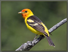Western Tanager - West Creston, B.C. (kootenaynaturephotos.com) Tags: birds bc creston tanager westerntanager pirangaludoviciana westcreston featuredonthefrontpageofthenatures~~greenpeace