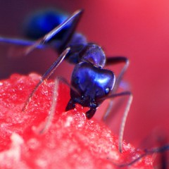 惡 (Blue-Øcean) Tags: red macro insect square sweet ant australia watermelon harvey temptation 王承柱 自食惡果