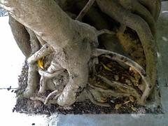 Sidewalk Tree Root, Locust St, San Francisco (Lynn Friedman) Tags: favstock ca knarled laurelvillage locust lynnfriedman overgrown presidioheights root sanfrancisco sidewalk stock street tree usa fav favorites