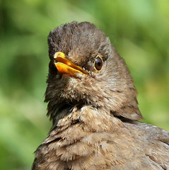 Min of Merel (Ger Bosma) Tags: bird young kos extremecloseup turdusmerula youngster blackbird merlo merel amsel youngbird eurasianblackbird melro commonblackbird thegalaxy solsort juvenilebird koltrast closeupdetail merlenoir mirlocomn  extremedetail  mygearandme mygearandmepremium ringexcellence dblringexcellence flickrstruereflection1 flickrstruereflection2 img51491filtered