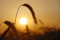 Abendsonne (Uli He - Fotofee) Tags: licht nikon sonne ulrike kraft abendsonne getreide schattenriss nikond80 imfeld frdieseele fotofee ulrikehe