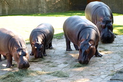 Family portrait (Takulover) Tags: berlin ede hippo nele nilpferd lotty flusspferd zooberlin witha hippotamus