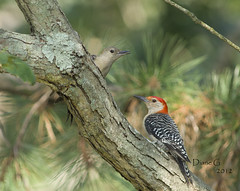 Male and Female Red-bellied Woodpeckers    10 (Diane G. Zooms) Tags: woodpecker redbelliedwoodpecker supershot thegalaxy avianexcellence coth5 dblringexcellence tplringexcellence sunrays5