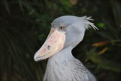 Baleniceps rex 1 (Xevi V) Tags: birds japan tokyo aves aus jap uenopark shoebill ocells uenozoo tquio picozapato balenicepsrex
