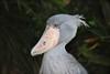 Baleniceps rex 1 (Xevi V) Tags: birds japan tokyo aves aus japó uenopark shoebill ocells uenozoo tòquio picozapato balenicepsrex
